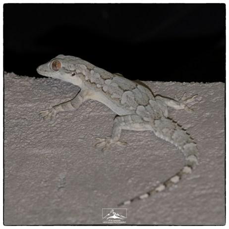 Bark gecko (Hemidactylus leschenaultii) at Backwaters Lodge.