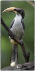 Grey Hornbill (Ocyceros gingalensis), another endemic. It is widely distributed on the island in both wet and dry zones.