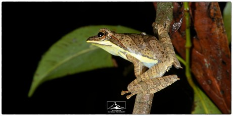The critically endangered Morningside Hourglass frog (Taruga fastigo) at Morningside.