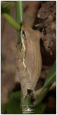 Taruga longinasus, an endemic rainforest frog that I have only seen once before.