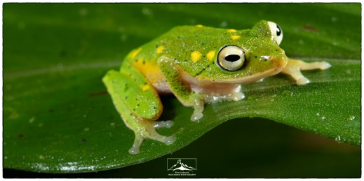 Variations of the exquisite green Poppy's Shrub frogs (Pseudophilautus poppiae) at Morningside, Sinharaja.