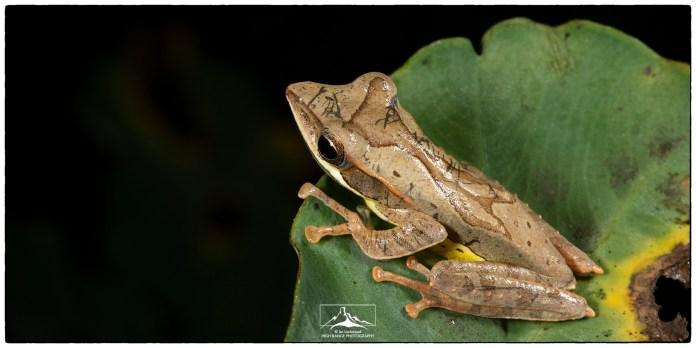 Montane Hourglass Frog (Taruga eques) at Nuwara Eliya.