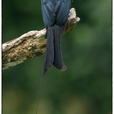 The greater racket-tailed drongo (Dicrurus paradiseus) at Eldhose's house outside of Thattekad.