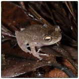 Most likely the Ponmudi bush frog (Raorchestes ponmudi) at the Pudhuthottam Annex with assistance from Dharani Hariharan. (June 2019)