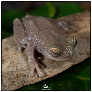Most likely the Ponmudi bush frog (Raorchestes ponmudi) at the Pudhuthottam Annex. (June 2019)