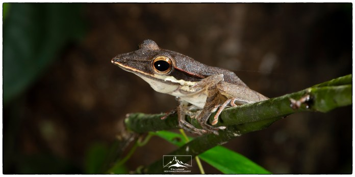 Southern Whipping Frog or Long-Snouted tree-frog (Taruga longinasus).