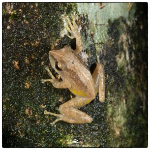 Unknown_frog_at_Riverston_1(MR)(01_20)