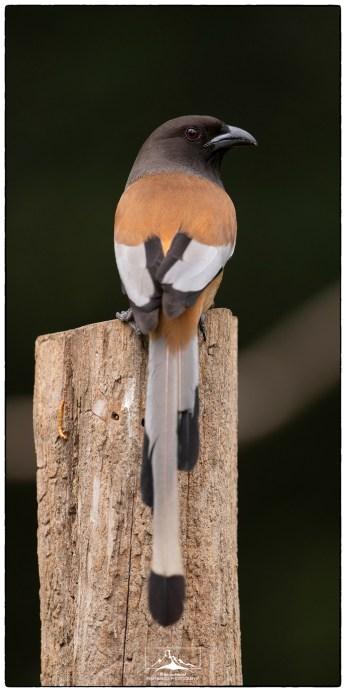 """Rufous Treepie (Dendrocitta vagabunda) at the """"treepie hide."""""""
