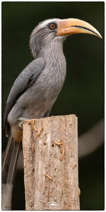 """Malabar grey hornbill (Ocyceros griseus) at KV Eldhose's """"treepie"""" hide."""