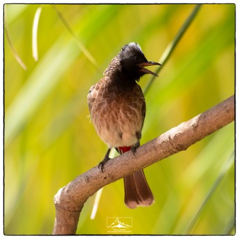 Red-vented bulbul (Pycnonotus cafer) are also amongst the most frequently encountered birds in suburban neighborhoods. This is adult has a nest above our kitchen door.