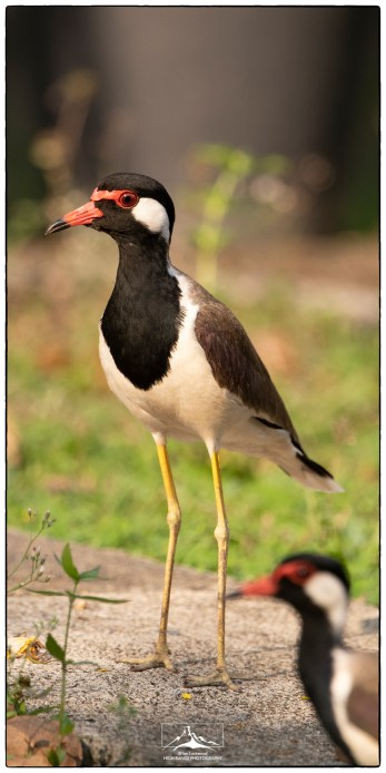 Red Wattled Lapwing (Vanellus indicus) at Eden Gardens. This is one of the most commonly encountered birds on the compound and it can be heard shrieking at all times of the day and night.