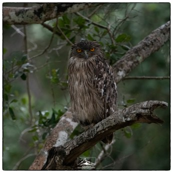 Brown Fish Owl (Bubo zeylonensis) at Wilpattu National Park. This individual perches on a large overlooking a small artificial lake near the entrance and is frequently seen in afternoon/evenings.