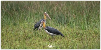 Lesser Adjutant Storks (Leptoptilos javanicus) at Wilpattu National Park. We observed between 6-8 individuals at different wilus on our day-long tour. A few weeks earlier we had enjoyed seeming them on the east coast north of Arugam Bay and in Kumana National Park.