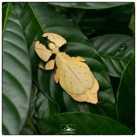 Female leaf insect (Phyllium bioculatumI in the Kandalama area. The was the first time that I have observed this pale coloration.