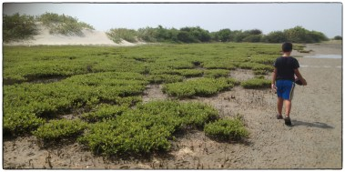 Mangrove regrowth on the western edge of Mannar.