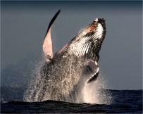 Humpback-Whale-NSW0534-08x10
