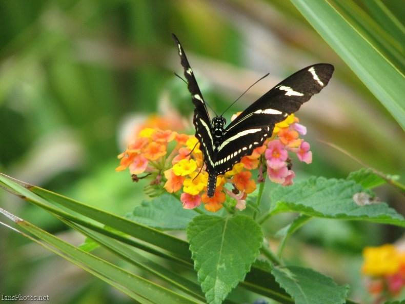 Zebra Winged Butterfly