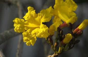 tabebuia flower tree