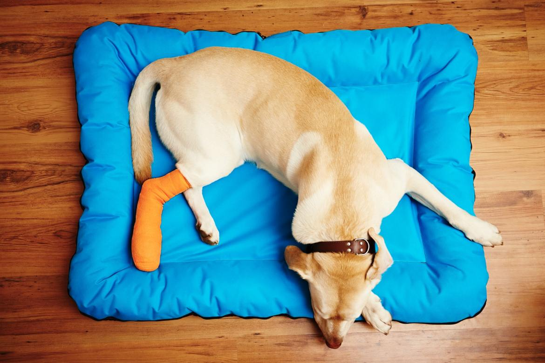 Dog with broken leg needs pet insurance.