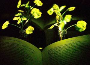 Luminescent plants discovered