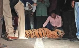 tiger road kill