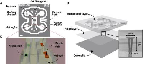 Microfluidic design and assembly. (A) The microfluidic design features three parallel gel regions accessible by six gel filling ports and flanked by two medium channels connected to four medium reservoirs. A surrounding vacuum channel allows for temporary bonding. Scale bar, 2 mm. (B) The platform is composed of a top microfluidic layer assembled on top of a PDMS membrane featuring two sets of two capped pillars (inset), itself bonded to a coverslip. (C) Schematic displaying the final coculture arrangement: embedded in a hydrogel, muscle bundles that are wrapped around and exerted force to the pillars are innervated by neurospheres located in the opposite gel chamber separated by a 1-mm-wide gel region.