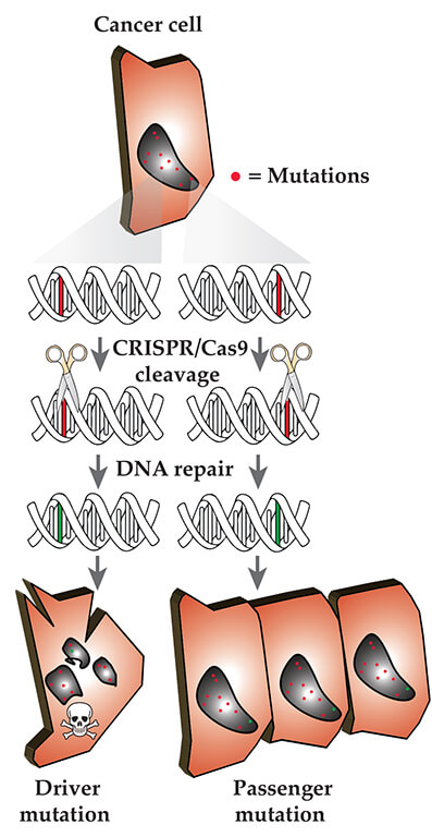 The genome scissor CRISPR/Cas9 can help to distinguish mutations that drive cancer cell growth from mutations less relevant for the development of cancer. (© Frank Buchholz/ TU Dresden)