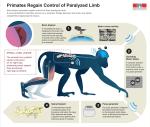 Des singes paralysés retrouvent l'usage de la marche grâce à un implant cérébral