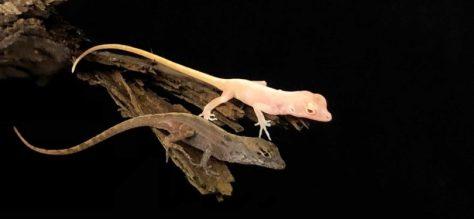 Crispant-lizard lézards