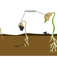 Bean Seedling Diagram 01 Chevy Cavalier Stereo Wiring Germination Stages | Bioninja