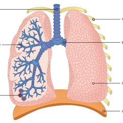 The Lung Anatomy Diagram Label Wiring Diagrams For Central Heating Systems Y Plan Structure Bioninja Click On To Show Hide Labels