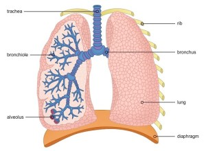Lung Structure | BioNinja