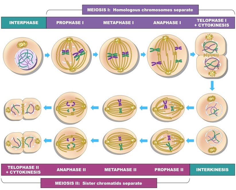 simple diagram of meiosis netball court layout stages bioninja complex