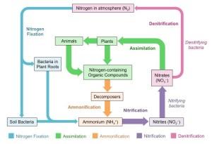 Nitrogen Cycle | BioNinja