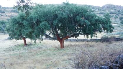 Alcornoque... el árbol
