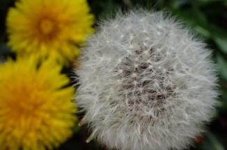 Dandelion, human view