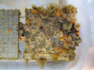 Bugula turrita, Botrylloides violaceus, Botryllus schlosseri, Molgula manhattensis