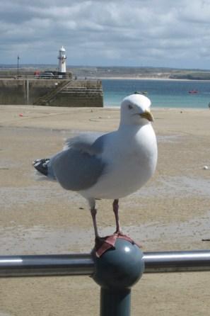 A cheeky St Ives gull
