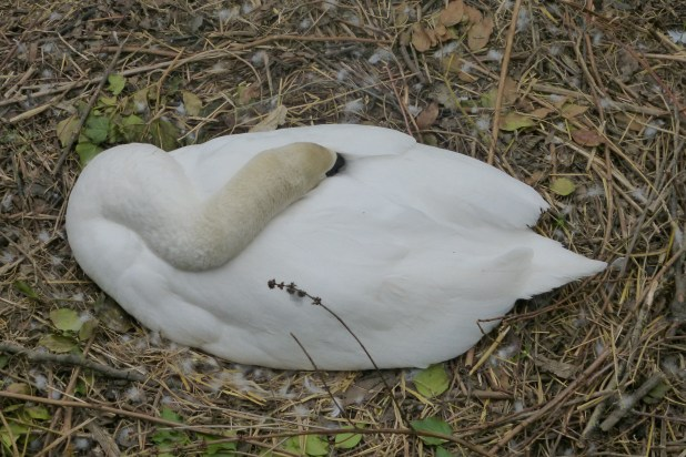 A snoozing swan in her nest, Bradford-on-Avon