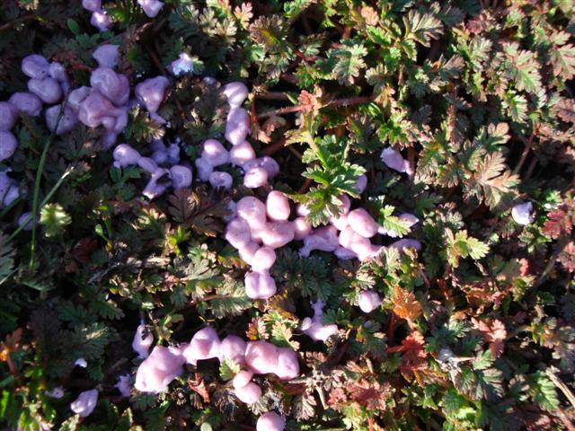 lavender-blossoms-2-small