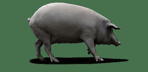Resultado de imagen de cerdos con marca