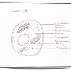 How To Draw A Cell Diagram 2001 Hyundai Accent Radio Wiring Ib Biology Notes 2 3 Eukaryotic Cells 1 And Label Of The Ultrastructure Liver As An Example Animal