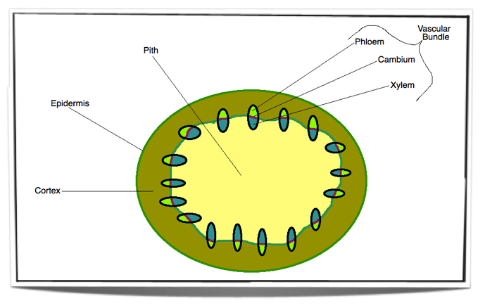 plant pith diagram cross section thermostat wiring ib biology notes 9 1 structure and growth draw label plan diagrams to show the distribution of tissues in stem leaf a dicotyledonous