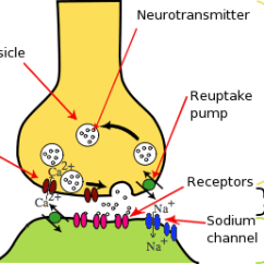 Synapse Diagram Label Dodge Neon Wiring Stereo Ib Biology Notes 6 5 Nerves Hormones And Homeostasis The Neurotransmitters In Synaptic Cleft Are Then Quickly Degraded Calcium Ions Pumped Back Into From Inside
