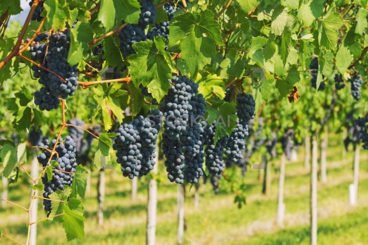 فوائد العنب الأسود للبشرة والشعر