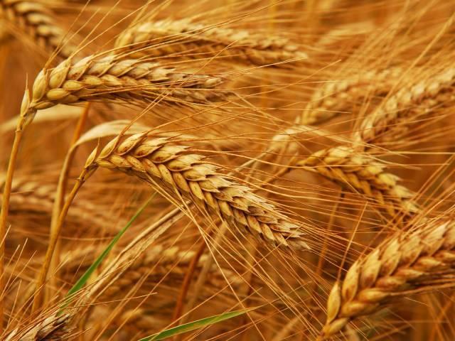 گندم کے سفارش کردہ مقدار میں بیج کی کاشت سے جڑی بوٹیوں کو پھلنے پھولنے سے روکا جا سکتاہے