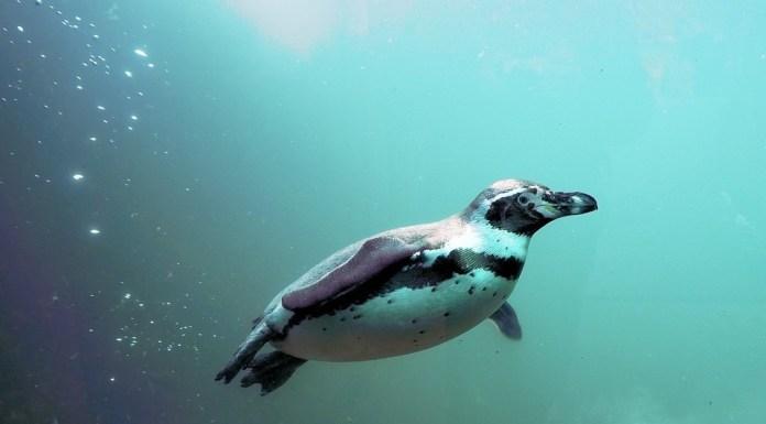 Marineland pingüinos