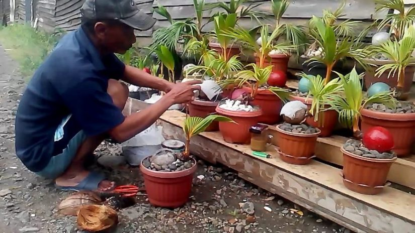 9 Langkah Mudah Cara Membuat Bonsai Kelapa Bercabang Dan Berbuah