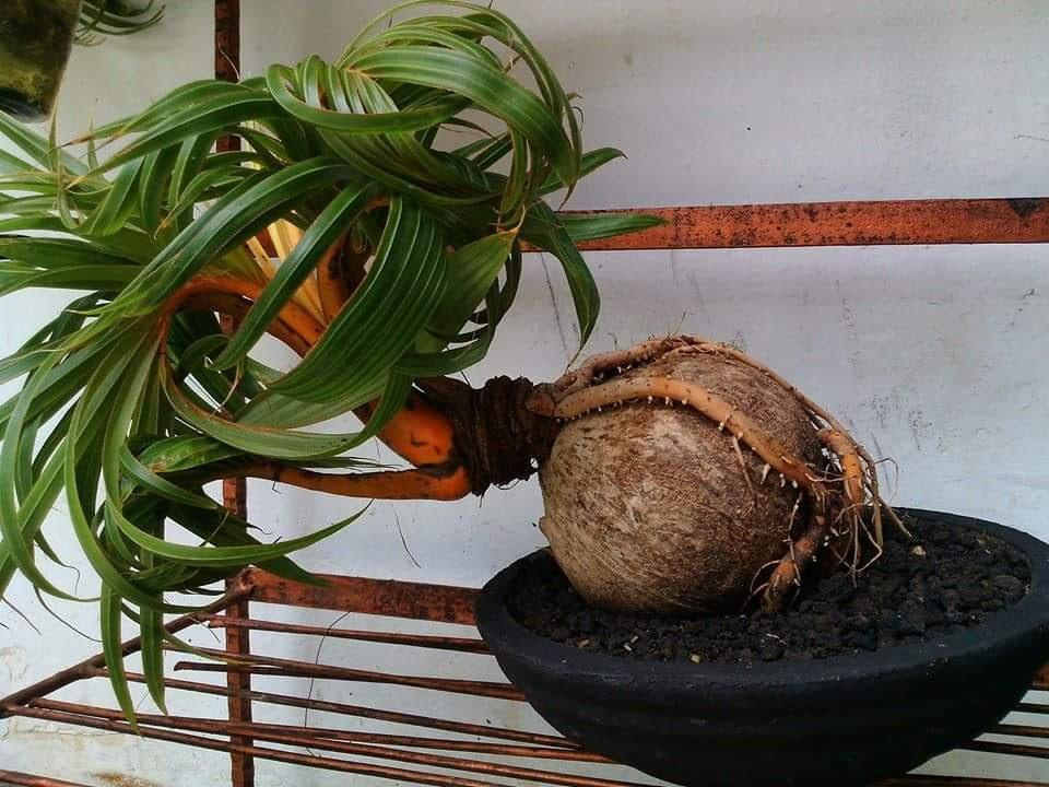 Cara membuat bonsai kelapa bercabang 7