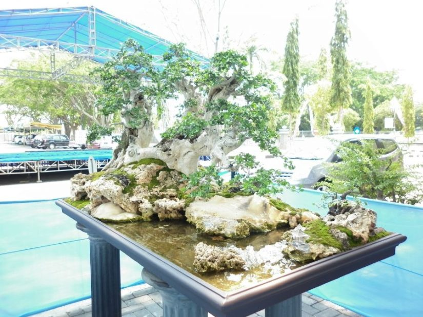bonsai serut juara